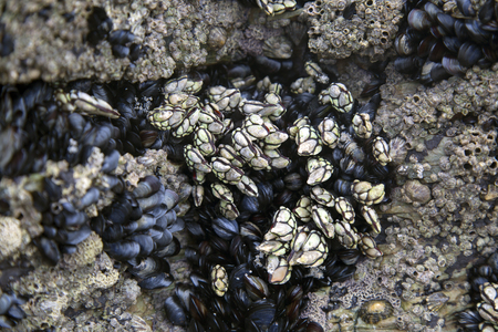 Barnacles and Mussels, Cathedral Beach; Galicia; Spain Stock fotó - 91838554