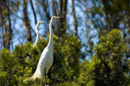 and egrets: Two Great Egrets in a tree Stock Photo