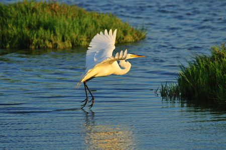 swampland: Egret in the wetlands of Southern California