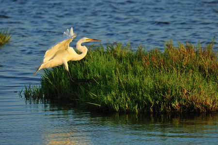 wetlands: Egret in the wetlands of Southern California