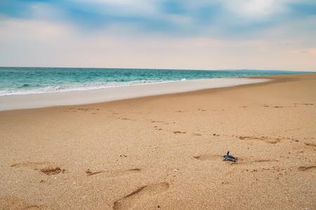 Happy baby sea turtle racing the last meters to the ocean, sri lanka