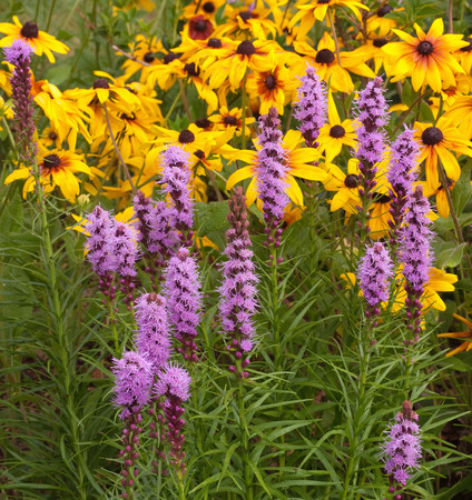 brown  eyed: Brown Eyed Susans and Lemon Bee Balms growing together