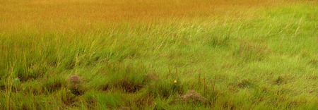 salt marsh: Salt marsh foliage in panoramic format