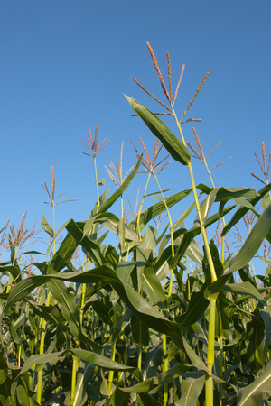 corn stalks: Corn stalks and blue sky