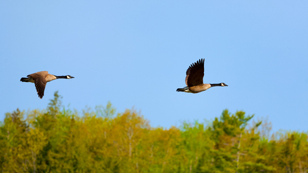 Pair of Canada Geese in flight on a sunny day.