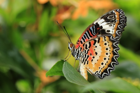 lacewing: Butterfly, Lacewing showing its color