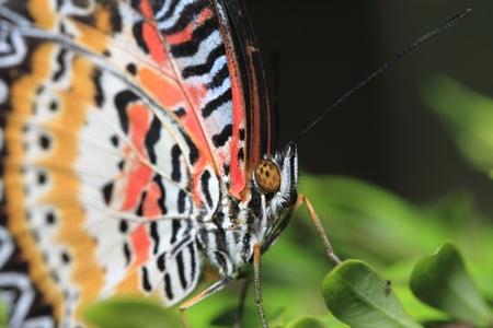 chrysope: Papillon, le visage hors Lacewing