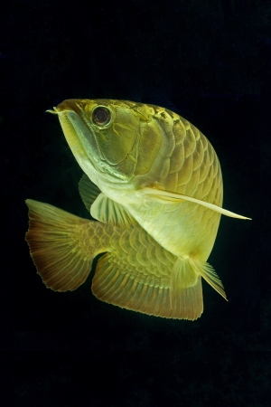arowana: Golden Arowana Stock Photo