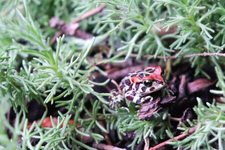 Leopard Toad shelters from stormy winter weather in a Cape Town garden