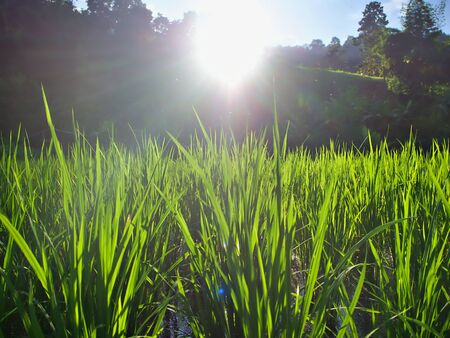 Green rice farm and the shining evening sun in Chiangmai, Thailand