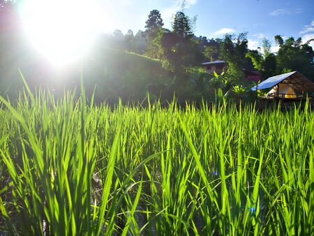 The shining evening sun at the left of the green rice farm in Chiangmai, Thailand