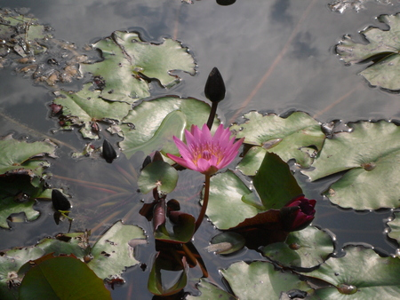 lotus flower in pond photo