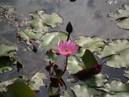 lotus flower in pond photo