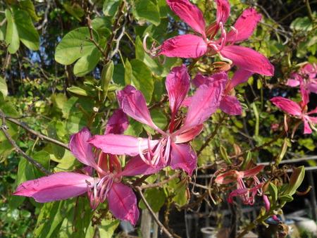 orchid tree: �rbol de la mariposa, �rbol de orqu�dea, p�rpura Bauhinia Foto de archivo