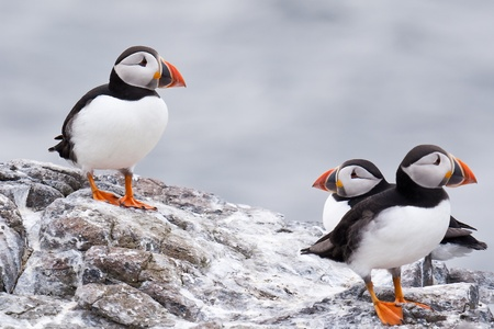 puffins: puffins Stock Photo