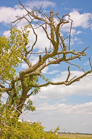 An image of an old tree set against a blue, cloudy sky Stock Photo - 13727954