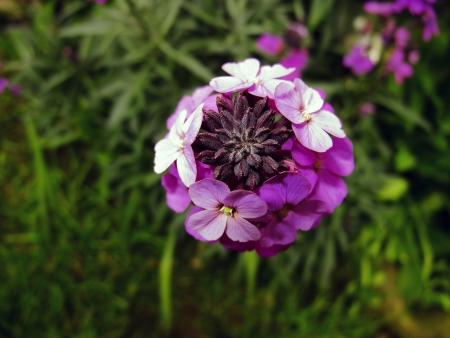 wallflower: An image showing view from the top of the flower Erysimum - Bowles Mauve