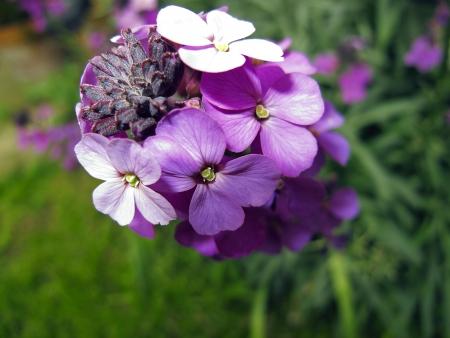 wallflower: An image of the flower Erysimum - Bowles Mauve Stock Photo