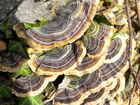 多くゾーニングある多孔菌 (カワラタケ) の画像 写真素材