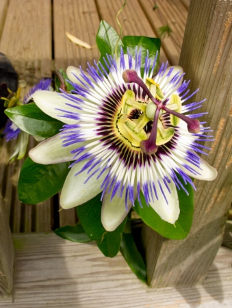 An image of the beautiful flower Passiflora Caerulea also known as the Passion Flower