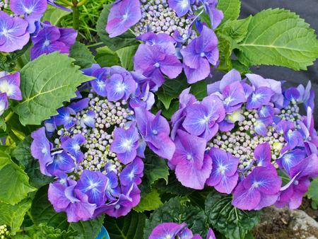 アジサイの美しい植物のビューを閉じる