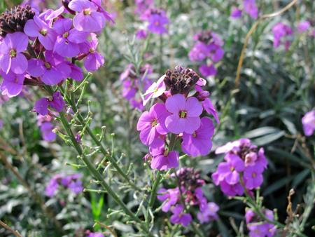 An image of a garden flower erysimum - Bowles Mauve Stock Photo
