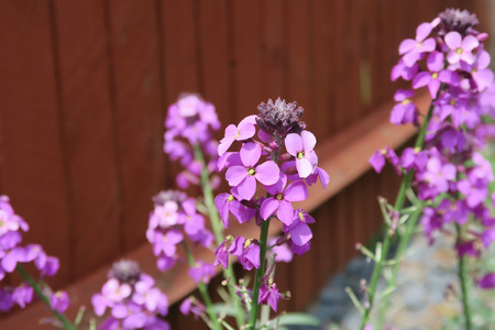 wallflower: The beautiful flower Erysimum Bowles Mauve Stock Photo