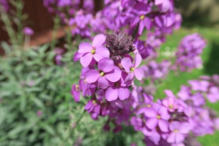 wallflower: Beautiful Erysimum Bowles Mauve