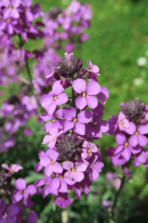 wallflower: The beautiful purple flower Erysimum Bowles Mauve