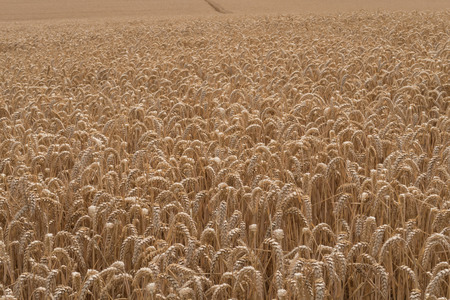 landscape view of ears of golden wheat