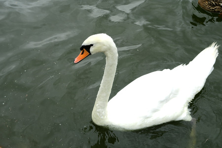 swimming swan: A beautiful Mute swan Cygnus olor