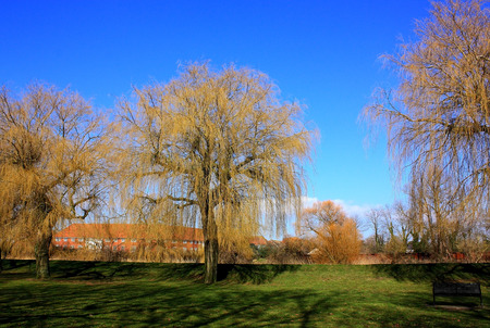 Willows by the river Stour