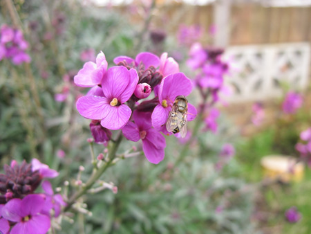 wallflower: The Beautiful purple garden flower erysimum