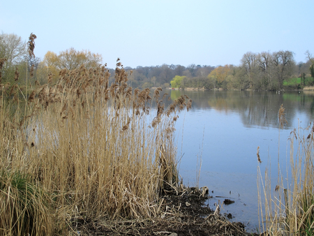 rushes: A view of some Rushes with the lake at Mote park in the background