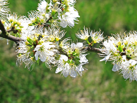 hedging: Beautiful flowers of the Blackthorn shrub