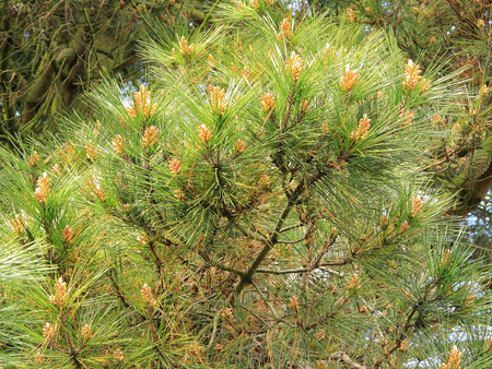 spikey: Colourful image of golden brown pine cones set against the green spikey leaves