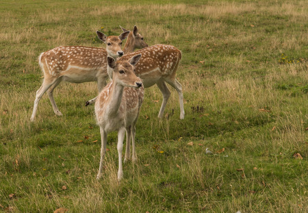 fallow deer: Three Fallow deer Stock Photo