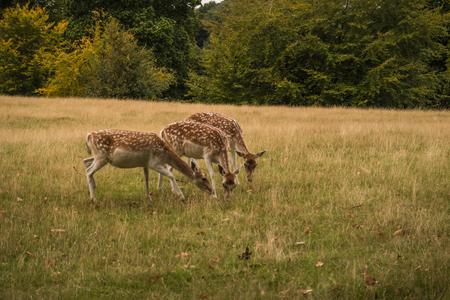 fallow deer: Three Fallow deer grazing