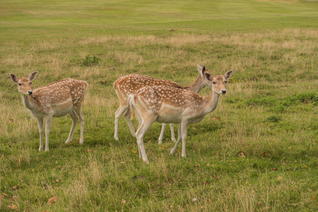 fallow deer: A small group of Fallow deer