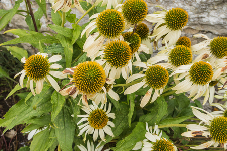 cone shaped: A close up view of Echinacea Purpurea also known as white swan Stock Photo