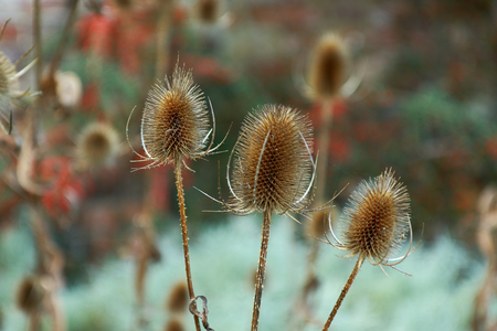spikey: A close up view of Teasel Dipsacus fullonum