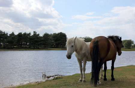 ponies: New Forest ponies by the water at Hatchet Pond