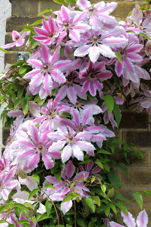 climbing plant: The beautiful climbing plant Clematis Nelly Moser