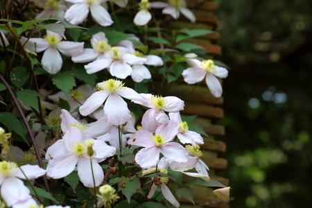 climbing plant: The beautiful climbing plant Clematis Montana Stock Photo