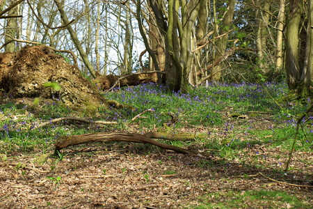 bluebell woods: A beautiful woodland Scene with old trees and bluebells (Hyacinthoides non-scripta)