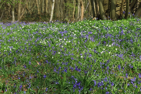 A beautiful woodland Scene with old trees and bluebells (Hyacinthoides non-scripta)
