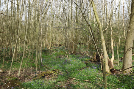 A beautiful woodland Scene with old trees and bluebells