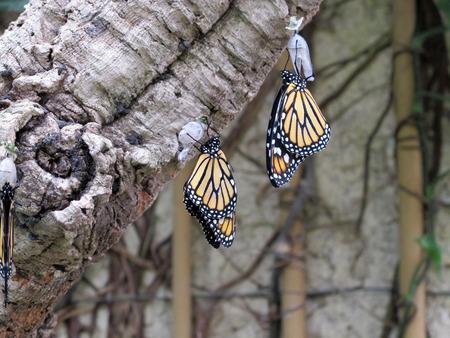 plexippus: A pair of beautiful Danaus plexippus hanging from a tree Stock Photo