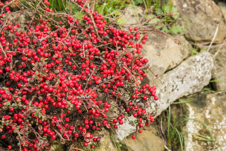 red berries: Red Berries of the Hawthorn shrub