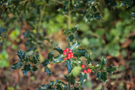 red berries: A small cluster of red Berries amongst the prickly leaves of the holly bush